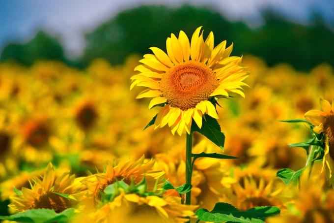 Faktu Unik Bunga Matahari