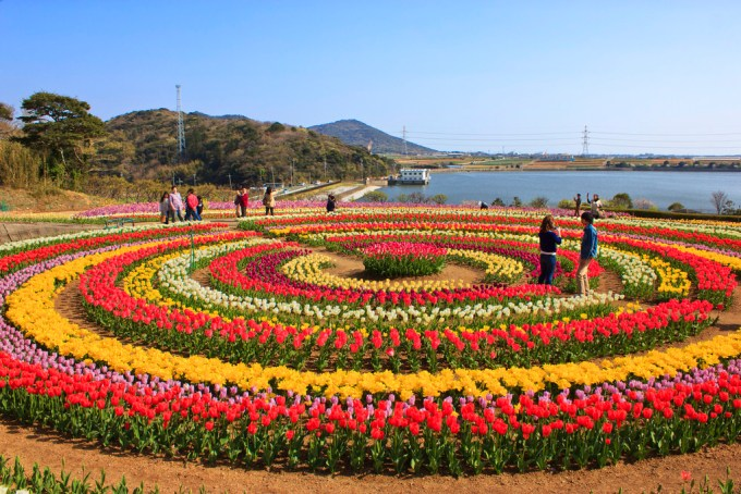 Gambar Bunga Tulip 2