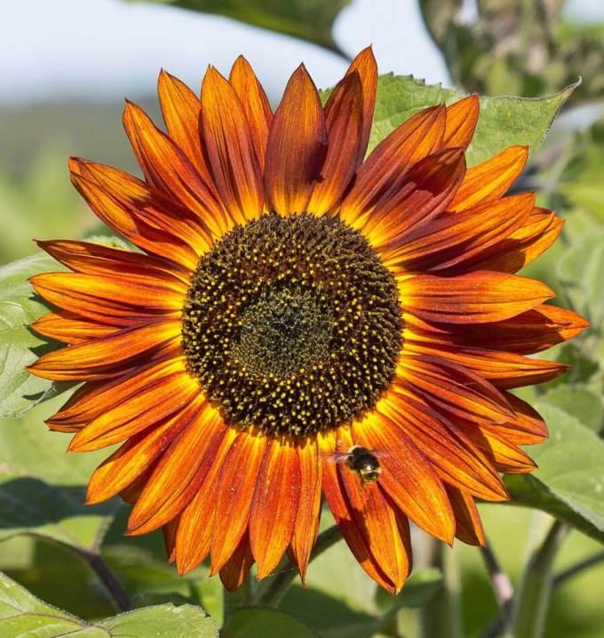 Jenis Bunga Matahari Velvet Queen Mirip Gerhana Matahari Cincin