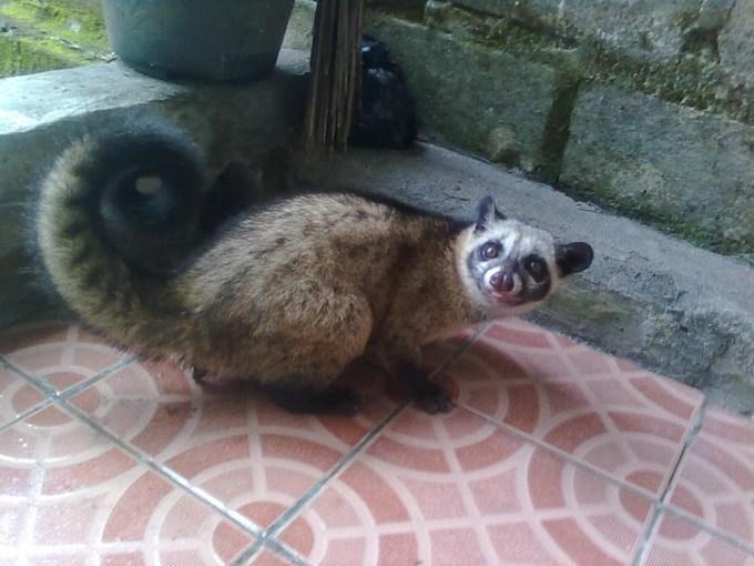 Menjinakkan Musang Pandan