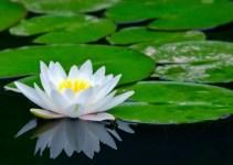 Bunga Teratai yang Menghiasi Perairan Tenang