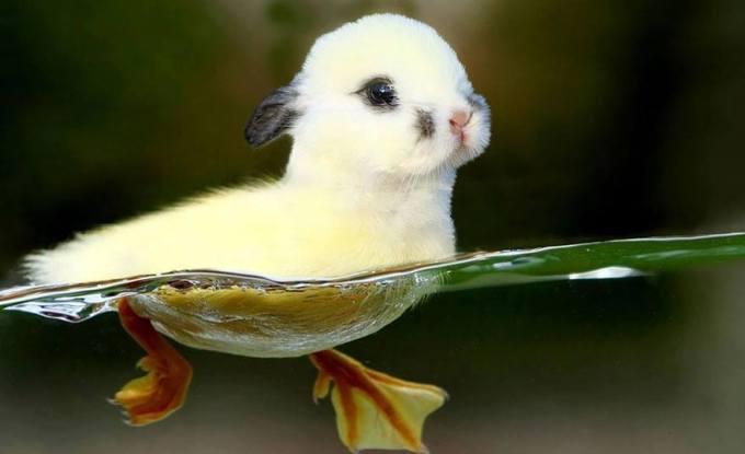 kelinci-bebek