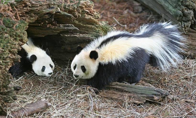panda-sigung