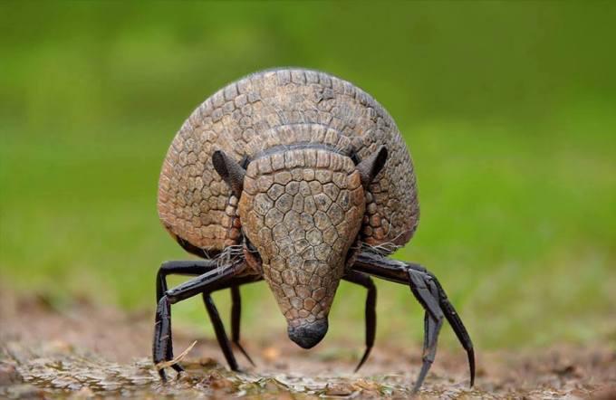 laba-laba-armadillo