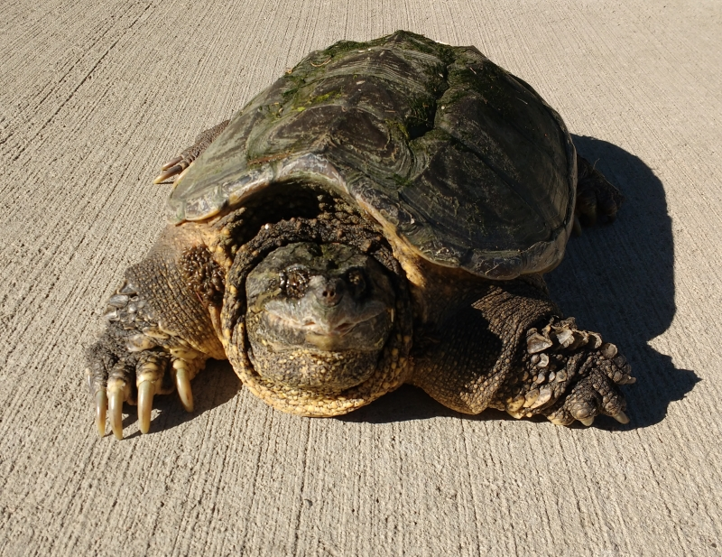 Kura Kura Air Common Snapping Turtle
