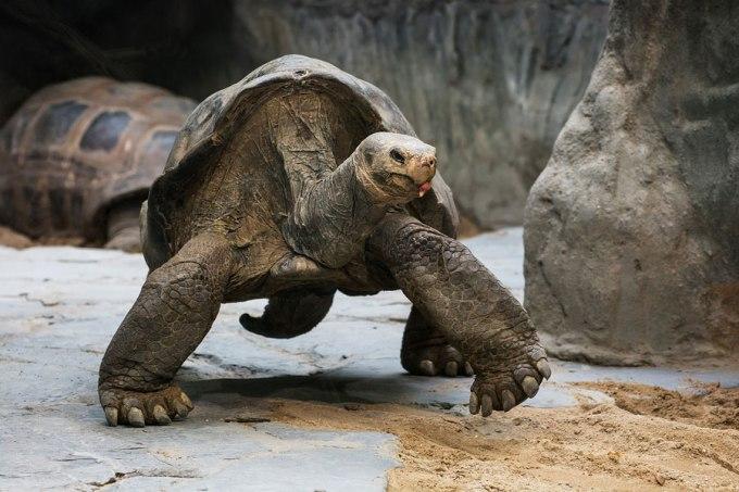 Aldabra Merupakan Jenis Kura-kura Darat Terbesar Kedua