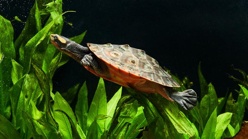 Yuk, Set Up Aquarium Kura-Kura Air Kamu Supaya Layak Dihuni