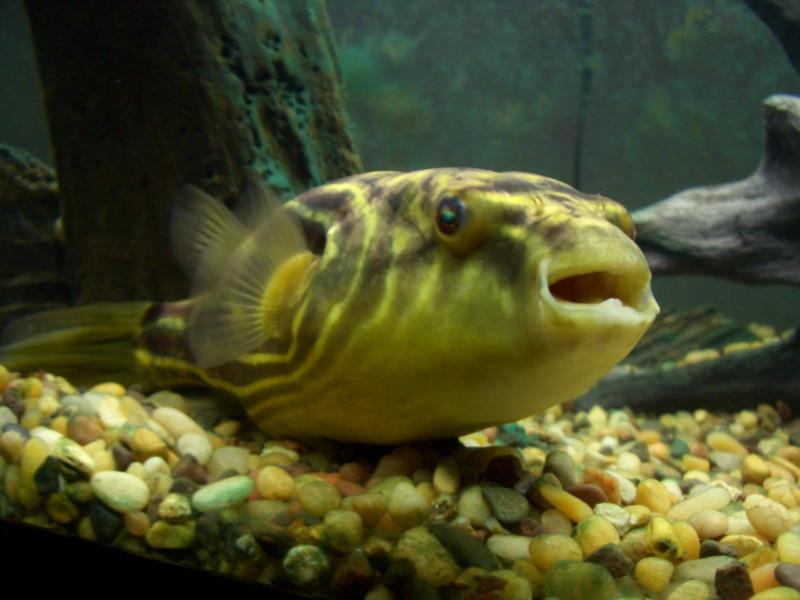 Ikan Buntal Fahaka, Alternatif Buat yang Bosan dengan Predator Itu-Itu Aja