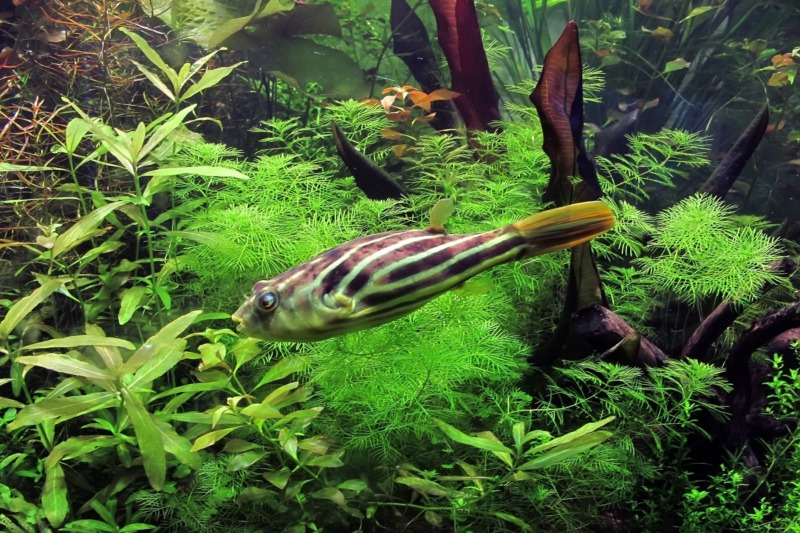 Kenalan Sama Ikan Buntal Fahaka