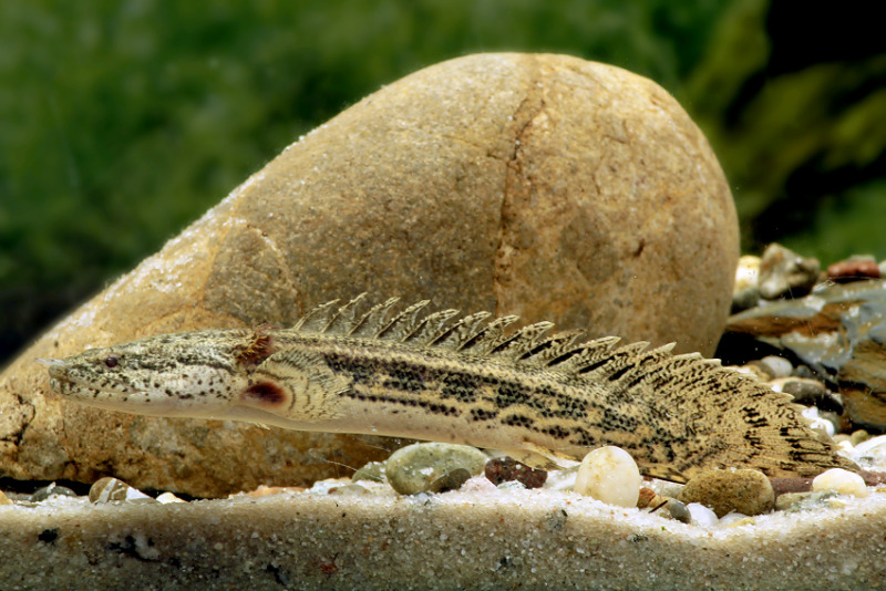 Polypterus Ansorgii Namanya