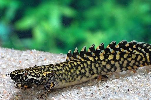 Jenis Ikan Palmas Orna Didominasi Warna Hitam dan Kuning