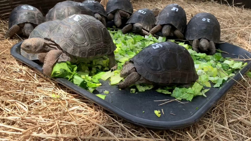 Diet Kura-Kura Aldabra