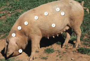 Porco Preto oftewel het Iberische varken.