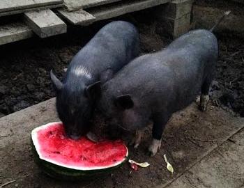 kiaulių varpos struktūra