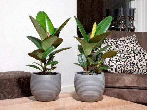 ภาพถ่ายยางยืดหยุ่น Ficus