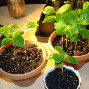 Выращивание растения хурма в домашних условиях: фото ...