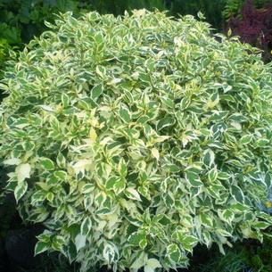 Виды и характеристика кустарных растений советы садоводов