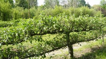 Основные виды обрезки плодовых деревьев: описание с фото