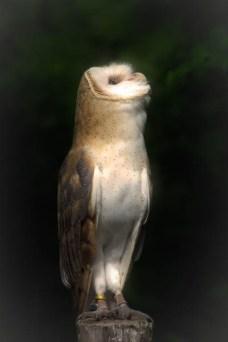 Shadows The Barn Owl