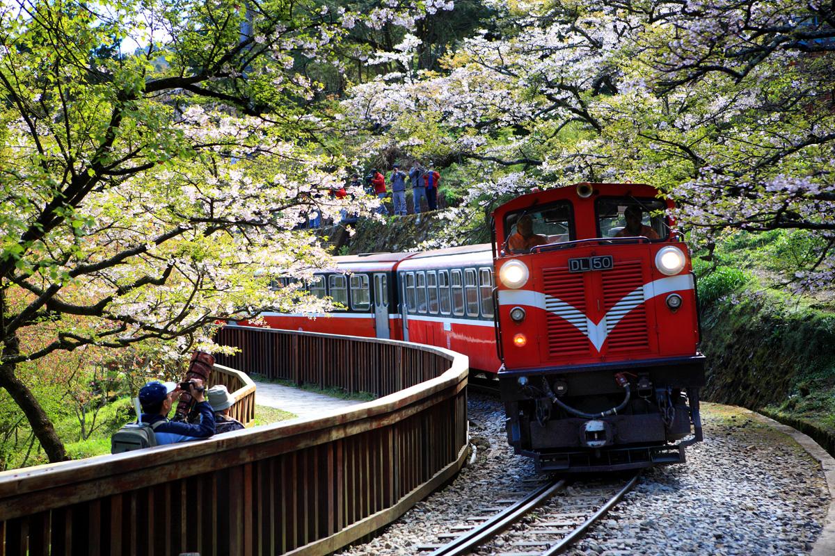 阿里山櫻花季2020賞櫻