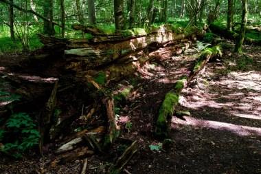 Rozkładające się drewno w Białowieskim Parku Narodowym