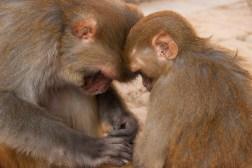 Małpy podczas czynności higienicznych w Świątyni Małp