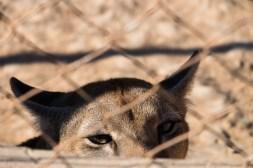 Puma, niestety tylko za kratami