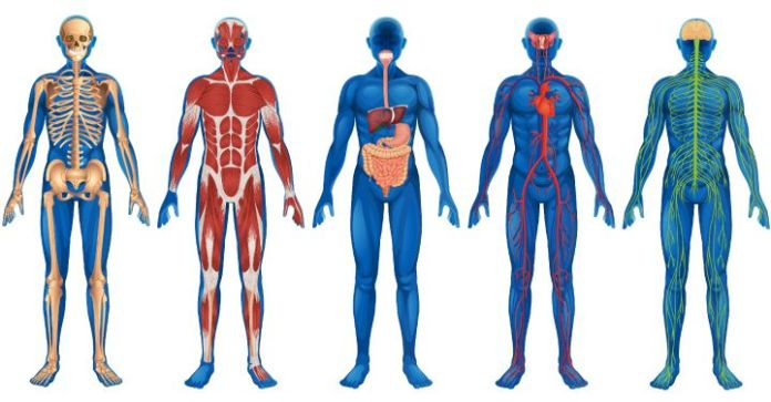 Fun Facts About the Human Body