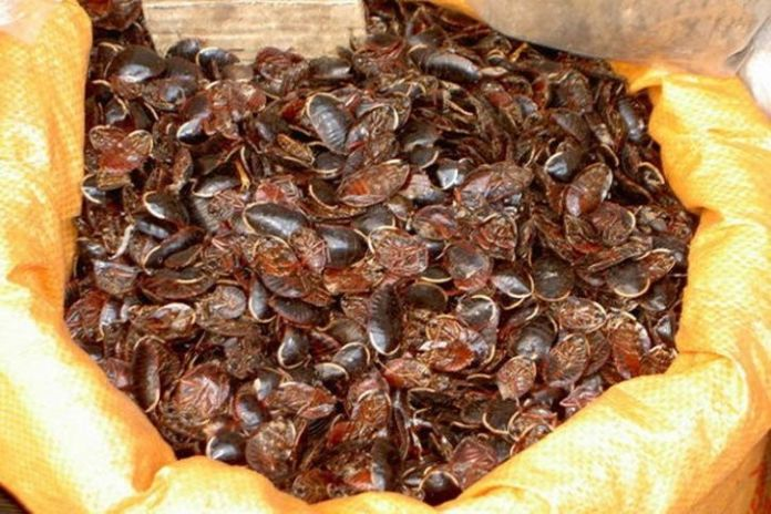 Chinese Couple Caught Smuggling 200 Live Cockroaches