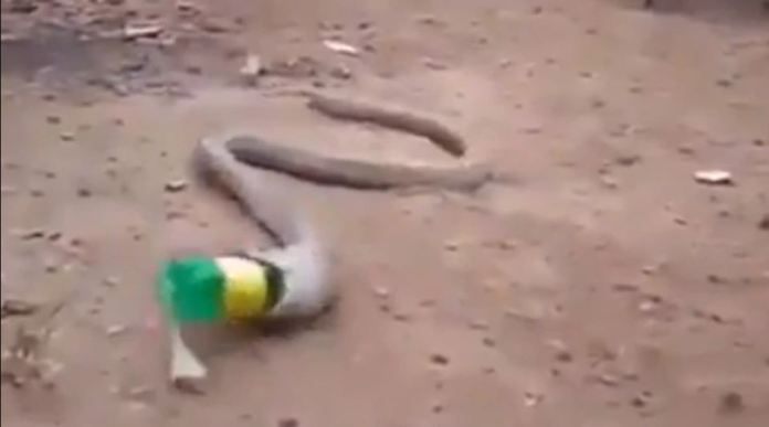 A distressing clip shows snake throwing up plastic bottle