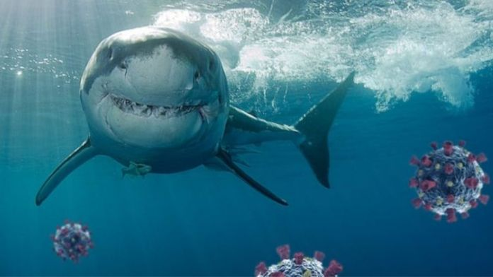 Half a million sharks may be killed to make Covid-19 vaccine, say experts