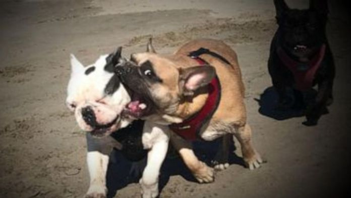 Lady Gaga's bulldogs who were abducted at Gunpoint return safely