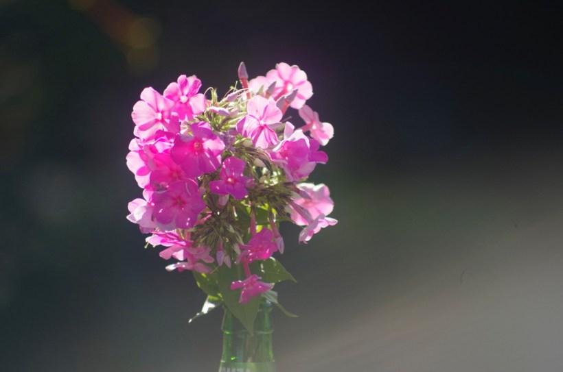 Floksy - jadalne kwiaty