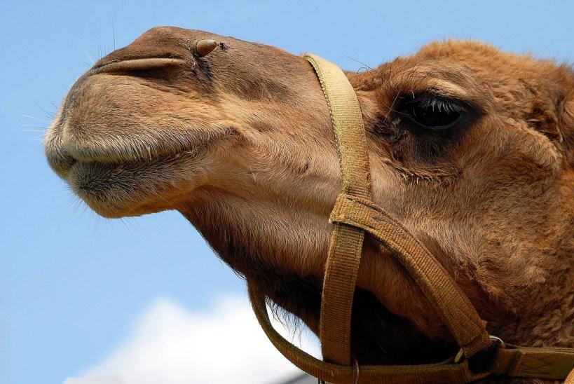 Davidson Robyn - Na zachód od Alice Springs - wielbłąd