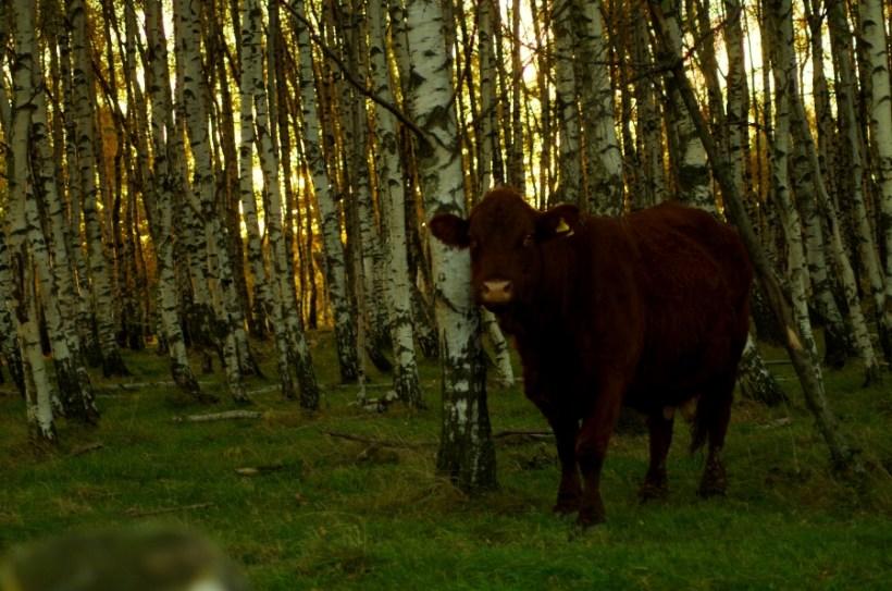 Sudeckie wsie widma - krowa we brzozowym gaju