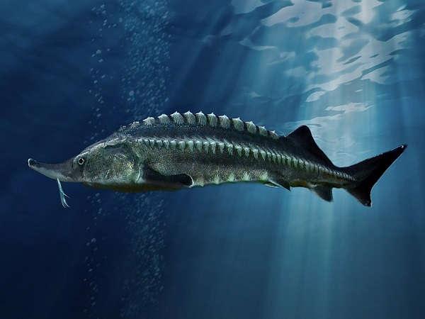 Beluga Sturgeon fish