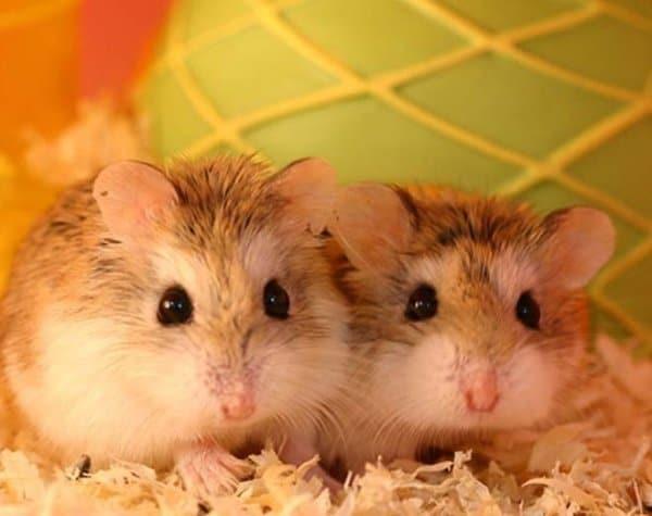 hamsterii pierd greutatea înainte de a muri 30 zile pierdere în greutate rapid