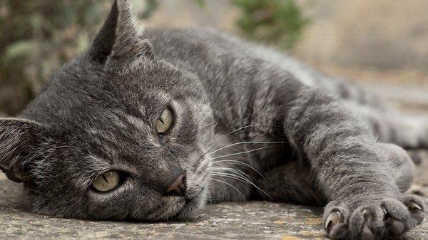 Симптомы рака у кошек. Лечение рака у кошки: причины заболевания, виды, течение, профилактика