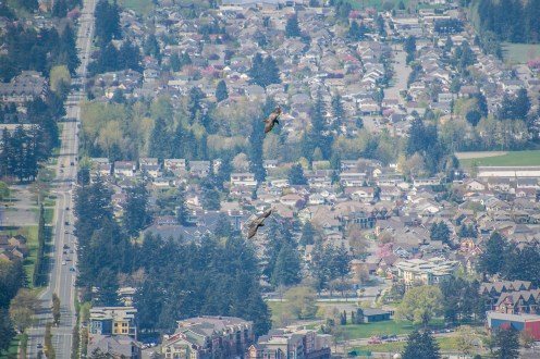 Two hawks playing above Promontory