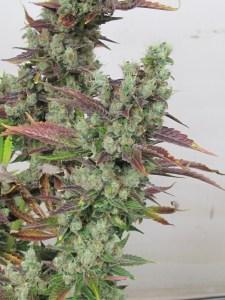 Grow medical marijuana from home with Kyle Kushman