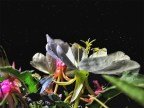 These evening primrose bloomed just in time to capture the light of the full moon and stars