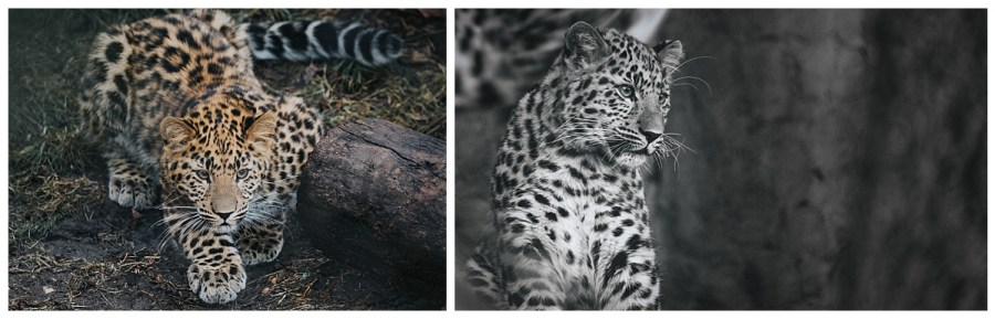 Amur Leopard cub at Brookfield Zoo