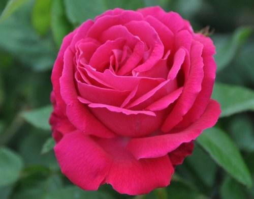 99 hình ảnh hoa hồng đẹp ngất ngây mà ai cũng phải ngắm nhìn