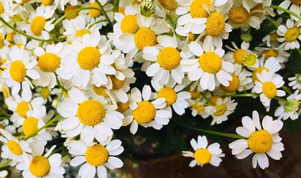 Những bông hoa cúc tana với cánh hoa tròn hơn cúc họa mi