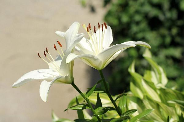 Hoa ly trắng có nhiều ý nghĩa với đạo giáo