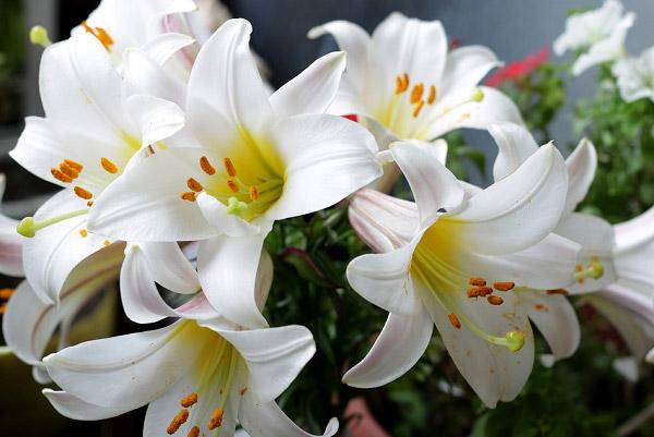 Những bông hoa ly (hoa huệ) trắng