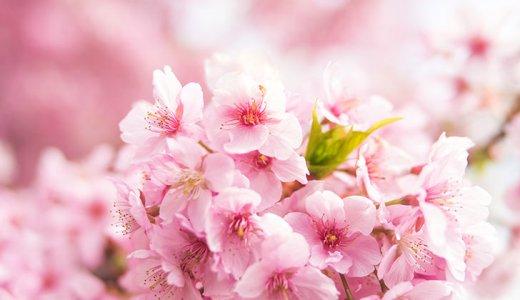 photock-桜-フリー素材