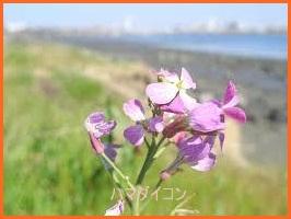 hamadaikonn617-2 ハマダイコン 食べ方レシピ ザ鉄腕DASH6月19日放送