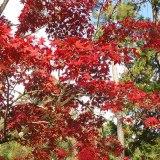 11月20日の今宮神社の紅葉(京都市北区)