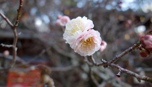 1月31日の今宮神社の梅